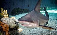 sandbar-shark-2_LRG_190_119_80auto